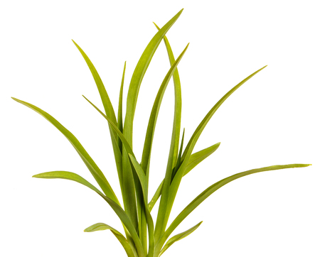 Green leaves of daylily isolated on white background