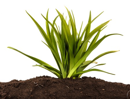 A young bush of the daylily in the soil. Over white