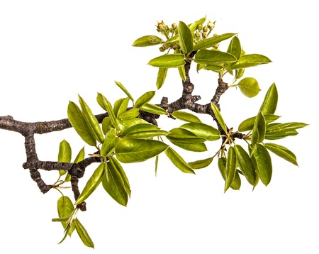 A branch of pear tree with young green leaves. Isolated on white Imagens