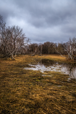 birch groves and marshes. landscape