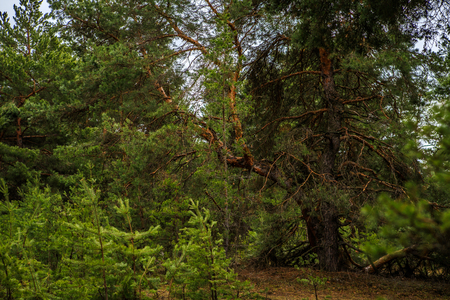 thick pine forest. landscape