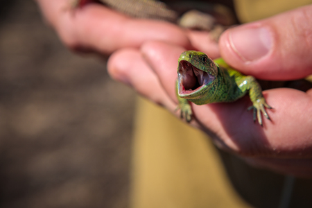 male sand lizard in the hands