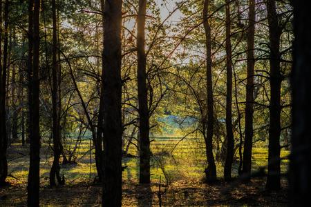 dawn in a pine forest. Stok Fotoğraf
