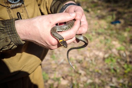ordinary snake in the hands