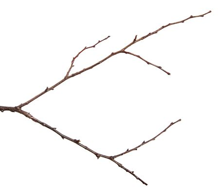 dry branch of an apricot tree. isolated on white background