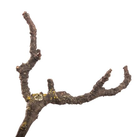 part of an old dry pear tree branch. isolated on white background