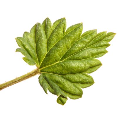 young green hop leaves. isolated on white background