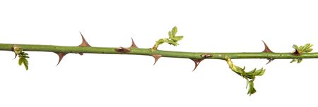 rosehip branch with thorns isolated on a white background Imagens