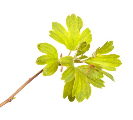currant bush branch with green leaves. isolated on white background
