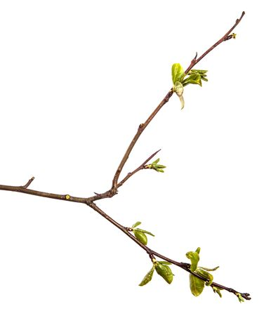 pear tree branch with young green leaves isolated on white background Imagens