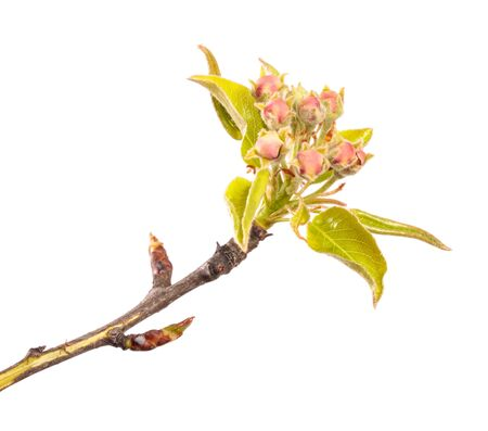 flowering pear close-up. isolated on white background