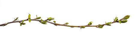 tree branch with small green leaves. isolated on white background