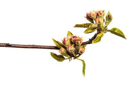 pear tree branch with young green leaves and blooming flowers isolated on white background