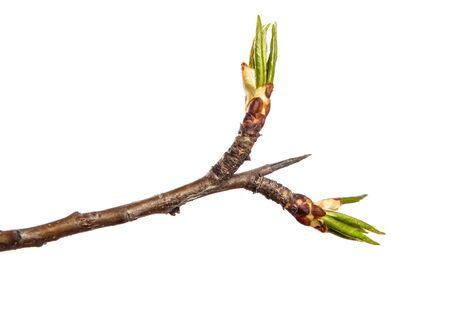 Part of a pear tree branch with blooming flowers. on a white background