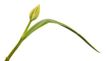 green unblown tulip bud isolated on white background