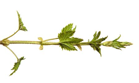 green hop leaves on a white background