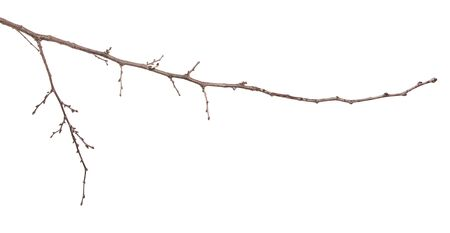dry apricot tree branches on a white background