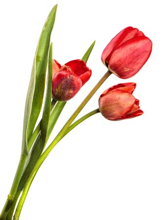 red tulip flower on a stem with leaves. isolated on white background