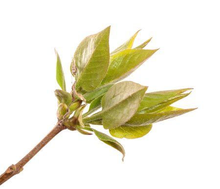 Lilac bush branch with green leaves. isolated on white background