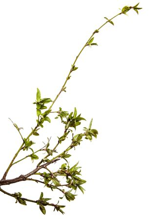 Cherry plum branch with young leaves. isolated on white background