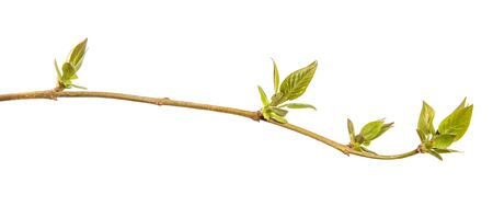 Fragment of a branch of a lilac bush with green young leaves. on a white background