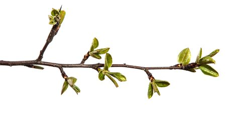 pear tree branch with young green leaves isolated on white background Archivio Fotografico