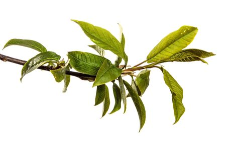 bird cherry tree branch with green leaves. isolated on white background