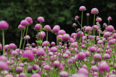 Globe amaranth or Gomphrena globosa. Photo taken on: August  26Th 2013  photo