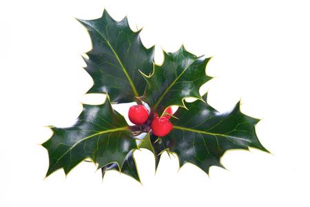 Ein Zweig Weihnachten Holly auf einem weißen Hintergrund.
