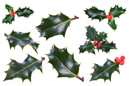 白い背景の上のクリスマスのヒイラギの小枝 写真素材