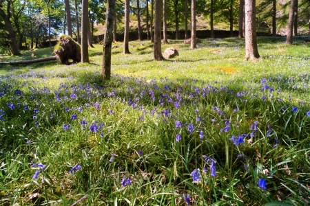 Bluebells coming into flower in the English woodland countryside. photo