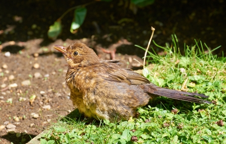 turdidae: A young Blackbird (Turdus merula) on the lawn of an English country garden.