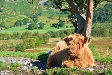 Highland Cattle Calf lying down beside a country track leading to Low Hall Garth, Lake District. Stock Photo - 24639265