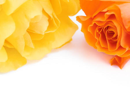 A closeup of yellow and orange  roses on a white background.