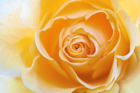 rosas amarillas: Un primer plano de una rosa amarilla de fondo.