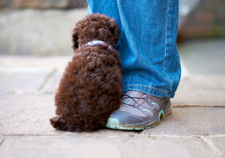 miniature poodle: A shy miniature poodle sitting by its owner