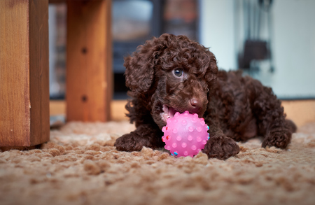 miniature poodle: A playful miniature poodle puppy with a pink ball.