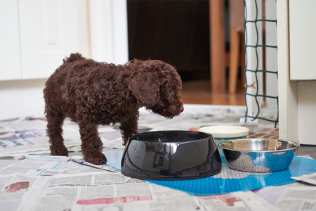 miniature poodle: A miniature poodle puppy eating his dinner. Stock Photo