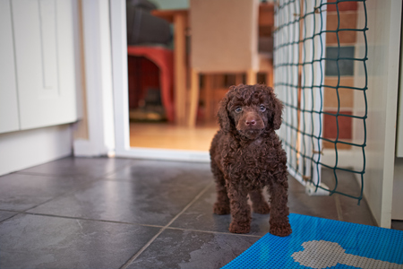 A miniature poodle puppy Waiting for his dinner. Stock Photo
