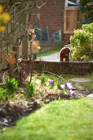miniature poodle: A miniature poodle puppy playing in the garden.