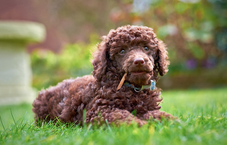 A miniature poodle puppy lying on the grass in the garden chewing a stick. Stock Photo