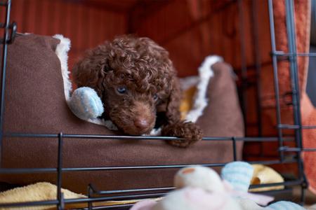 miniature poodle: A sleepy Miniature Poodle Puppy. Stock Photo