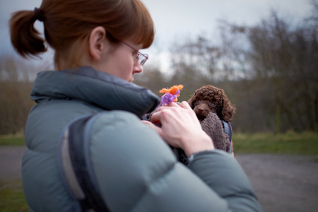 miniature poodle: Outdoor training for a miniature poodle puppy.