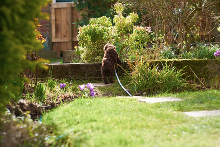 miniature poodle: Lead training for a miniature poodle puppy in the garden. Stock Photo