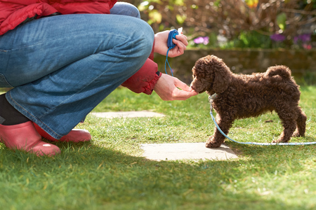 Lead and clicker training for a miniature poodle puppy in the garden. Stockfoto