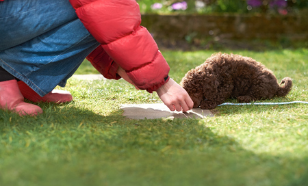 clicker: Lead and clicker training for a miniature poodle puppy in the garden. Stock Photo