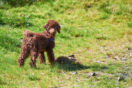miniature poodle: A young Miniature Poodle puppy outside and off the leash. Stock Photo