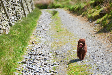 miniature poodle: A Miniature Poodle running along on a dirt track on a sunny day. Stock Photo