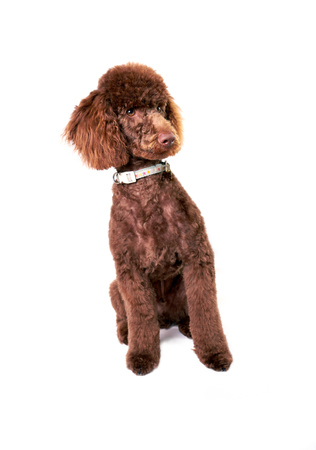 miniature poodle: Miniature Poodle sitting up isolated on a white background.