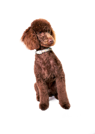 miniature poodle: A Miniature Poodle Puppy isolated on a white background. Stock Photo